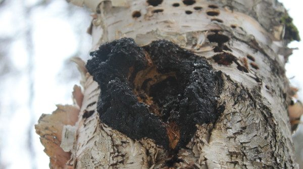does chaga go bad