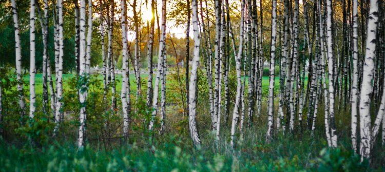 sunset-forest-woods-birch-2